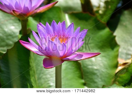 Beautiful flower background and view of bright lotus flower blooming in the lake