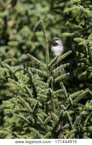 Boreal Chickadee perched in evergreen tree and vocalizing