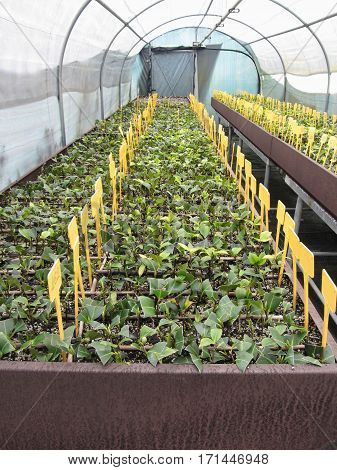 Greenhouse cultivation of Camellia japonica flowers .