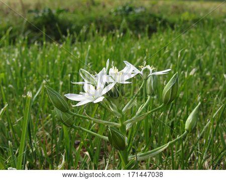 Star of Bethlehem flowers ( Ornithogalum umbellatum )