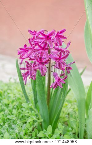 Hyacinths grow in the garden. Pink hyacinth flower