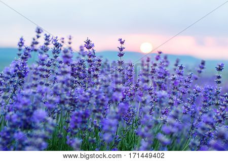 Sunset in a lavender field in a Summer with sun rays