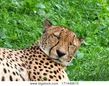 The cheetah dozes lying on a green grass