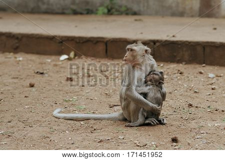 Monkey mother feeding her little hungry cub
