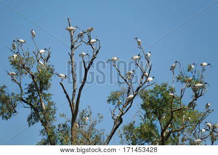 Australian white ibis birds on a tree