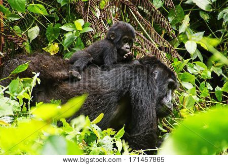 mama gorilla and a baby gorilla on her back are walking in the rainforest in central Africa. the little one is watching into the camera.