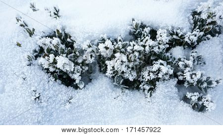 Top view of dark-green bush in snow. Ever-frost, frozen branches outdoor, cold day