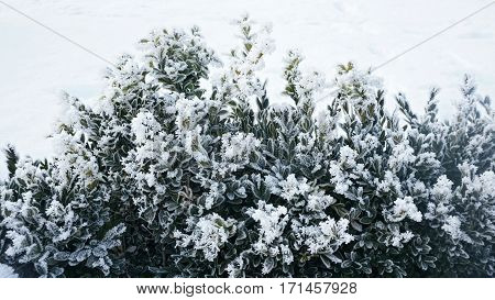 Evergreen bushes of boxwood under snow on the snowy background. Plant at frosty day.