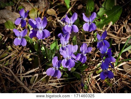 Spring wild flowers Oxalis in morning forest