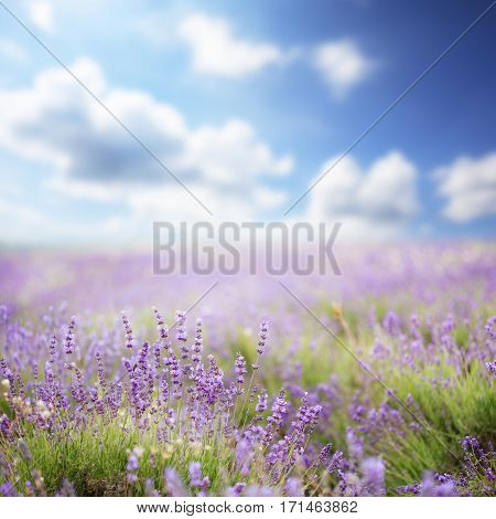 Beautiful purple lavender flowers blooming on field under summer sun with blurred clouds on the horizon. Shallow dof. Focus on foreground.