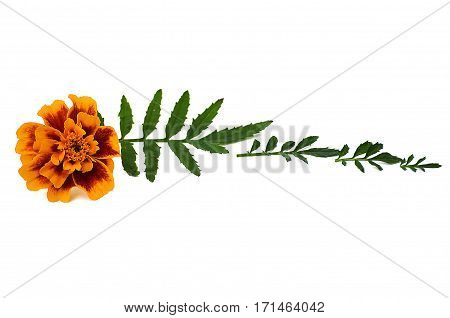 Yellow marigold flowers with leaves on a white background