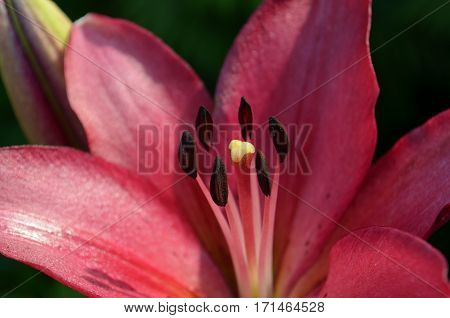 Closeup of the stamen of Deep Pink Lily in bloom