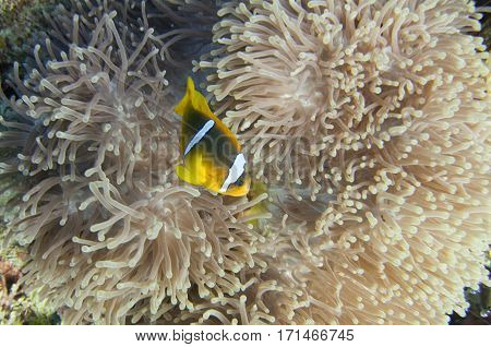 Clown fish swimming through anemone tentacles, color image