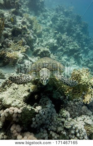 Endangered Hawksbill Turtle Swimming Over Corals. Wide Angle, Selective Focus