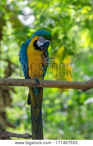 Blue-and-yellow macaw or Ara ararauna in jungle