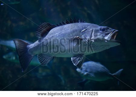 Atlantic wreckfish (Polyprion americanus), also known as the stone bass.