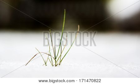 close up of grass after some fresh snowfall