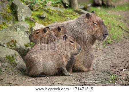 Capybara (Hydrochoerus hydrochaeris). Wildlife animal.