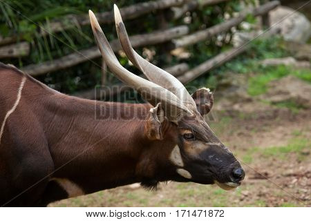 Eastern bongo (Tragelaphus eurycerus isaaci), also known as the mountain bongo.
