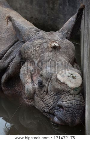 Indian rhinoceros (Rhinoceros unicornis) with its horn cut off.