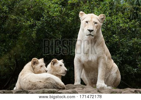 Female white lion with two newborn lion cubs. The whitelion is a colour mutation of the Transvaal lion (Panthera leo krugeri), also known as the Kalahari lion.