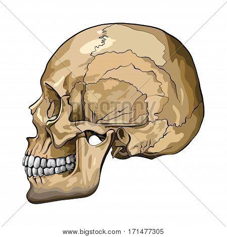 Vector illustration, hand drawing of a human skull