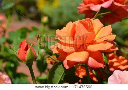 blooming Orange Rose and rosebud on a sunny day in the garden
