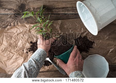 Man transplants ficus flower top view horizontal, set poster