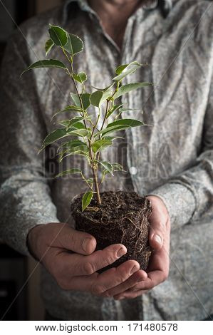 Ficus flower without pot in the man`s hands