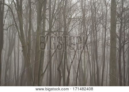 Calm Foggy Morning In Bare Forest