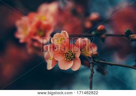 Beautiful spring red quince flowers in blossom