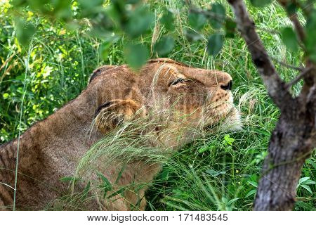 African lioness relaxed in the grassland, Kruger Park, South Africa