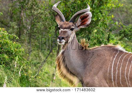 Kudu antelope Kruger National Park South Africa