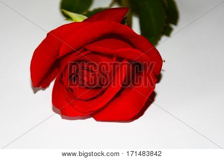 Red rose on white backround. Green leaves and stem. free place for text.