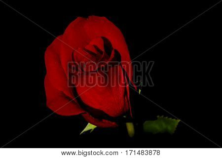 Red rose on black backround. Green leaves and stem. free place for text.