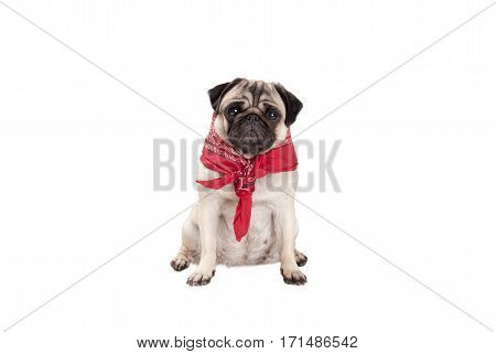beautiful pug dog puppy sitting down with western scarf around neck isolated on white background