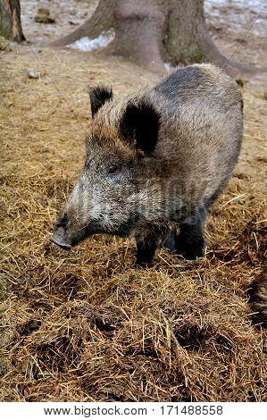Wild boar on hay litter in winter forest of in Reserve Bialowieza Forest