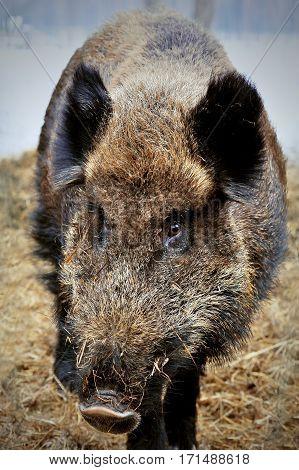 Big Wild boar in winter forest Bialowieza