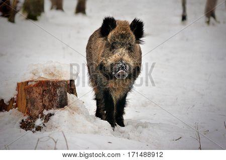 Wild boar on snow in Reserve Bialowieza Forest
