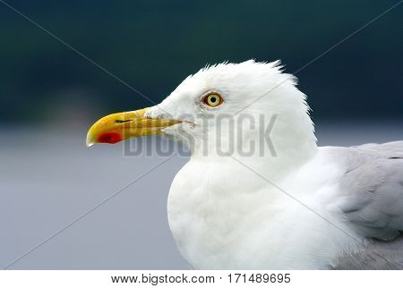 Large beautiful gull breeding ( Larus fuscus) on the Atlantic coast of Europe and along the northern coast of the Russian Federation. Sea gull sitting on the stern of a large ship.