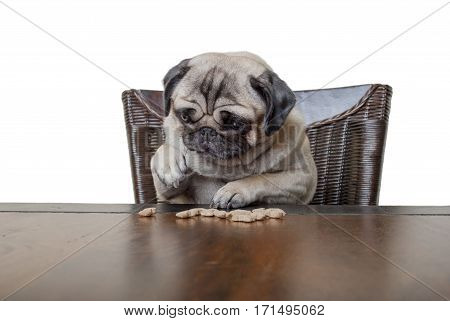 cute pug puppy dog sitting on chair at wooden dining table counting kibbles being on diet