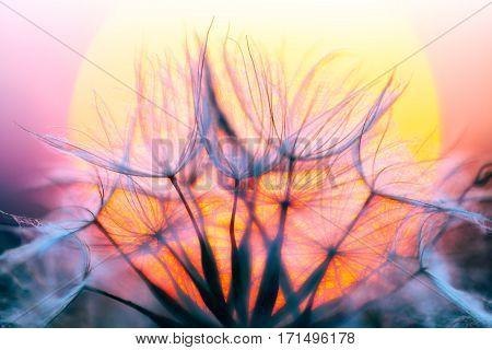 Dandelions Macro On Sunset Sky Background