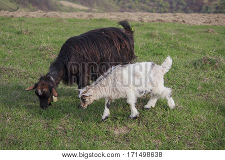 Two goats grazing on a spring meadow. Carpathians