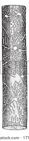 Galleries Tomicus micro graphus, vintage engraved illustration.