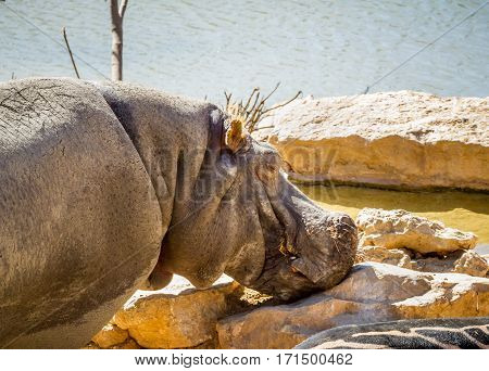 JERUSALEM ISRAEL - JANUARY 23: Hippopotamus close-up in Biblical Zoo in Jerusalem Israel on January 23 2017