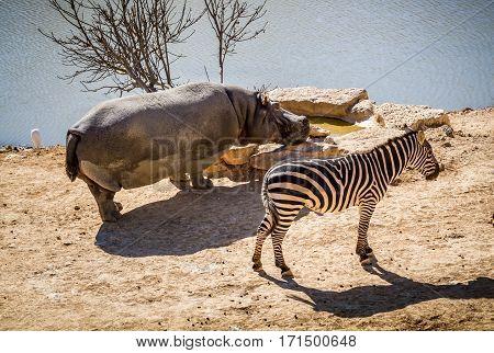 JERUSALEM ISRAEL - JANUARY 23: Zebra and hippopotamus in Biblical Zoo in Jerusalem Israel on January 23 2017