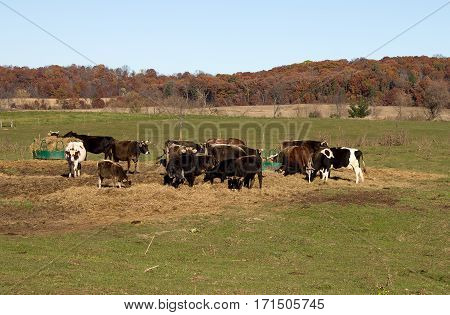 A small herd of cattle gathering around two feeders.