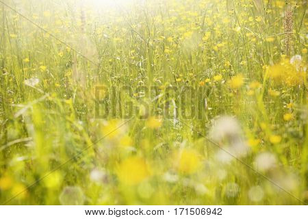 Summer background. Green Summer Grass Meadow Close-Up With Bright Sunlight. Sunny Spring Background