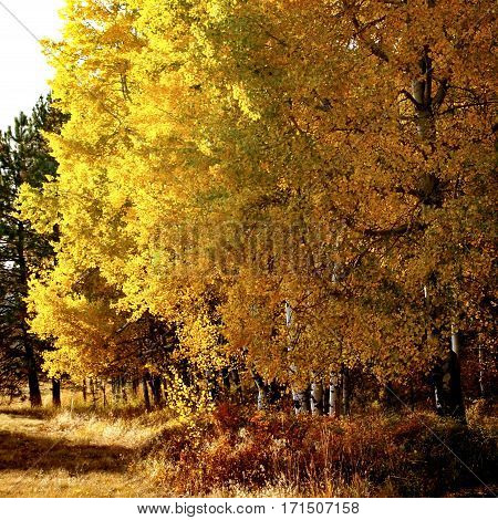 An aspen grove with beautiful gold leaves in the fall in Central Oregon.