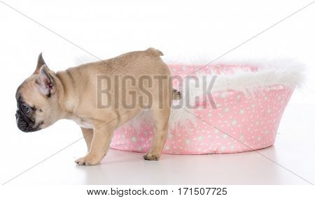 french bulldog puppy in a cute pink dog bed on white background